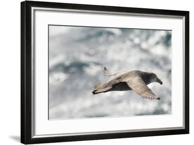 Southern Giant Petrel-Joe McDonald-Framed Photographic Print