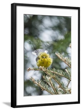 Pine Warbler-Gary Carter-Framed Photographic Print