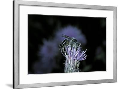 Apis Mellifera (Honey Bee) - Foraging on a Thistle Flower-Paul Starosta-Framed Photographic Print