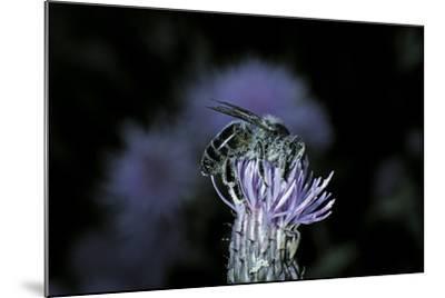Apis Mellifera (Honey Bee) - Foraging on a Thistle Flower-Paul Starosta-Mounted Photographic Print