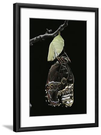 Morpho Peleides (Blue Morpho) - Emerging from Pupa-Paul Starosta-Framed Photographic Print