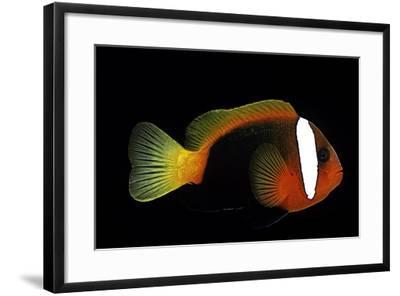 Amphiprion Melanopus (Fire Clownfish, Black Anemonefish, Red and Black Anemonefish, Cinnamon Clownf-Paul Starosta-Framed Photographic Print