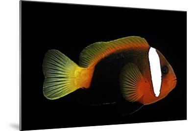 Amphiprion Melanopus (Fire Clownfish, Black Anemonefish, Red and Black Anemonefish, Cinnamon Clownf-Paul Starosta-Mounted Photographic Print