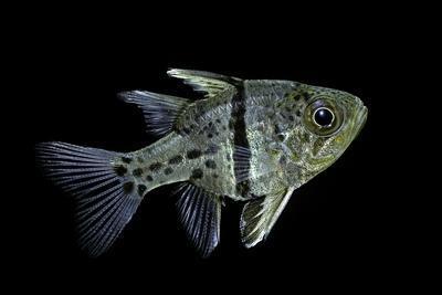 Sphaeramia Orbicularis (Orbiculate Cardinalfish, Chubby Cardinal, Polka-Dot Cardinalfish)-Paul Starosta-Framed Photographic Print