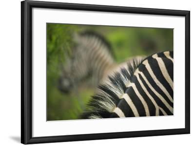 Zebra in Pilanesberg National Park-Jon Hicks-Framed Photographic Print