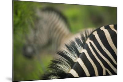 Zebra in Pilanesberg National Park-Jon Hicks-Mounted Photographic Print