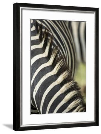 Plains Zebra Mane, Kruger National Park, South Africa-Paul Souders-Framed Photographic Print