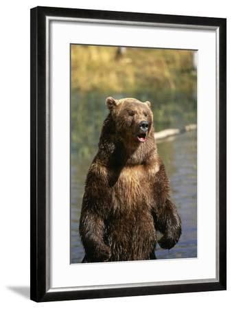 Grizzly Standing in Stream-DLILLC-Framed Photographic Print
