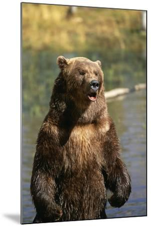 Grizzly Standing in Stream-DLILLC-Mounted Photographic Print
