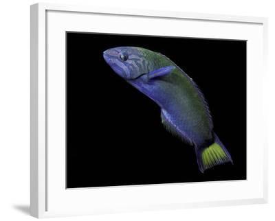 Thalassoma Lunare (Moon Wrasse)-Paul Starosta-Framed Photographic Print