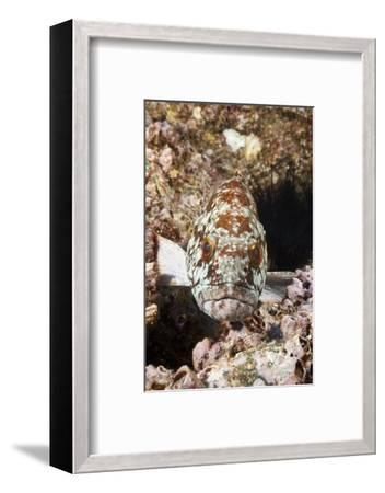 Starry Grouper (Epinephelus Labriformis)-Reinhard Dirscherl-Framed Photographic Print