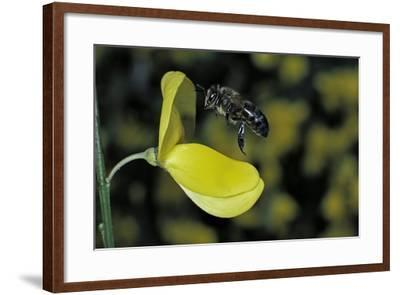 Apis Mellifera (Honey Bee) - Foraging and Approaching a Broom Flower-Paul Starosta-Framed Photographic Print
