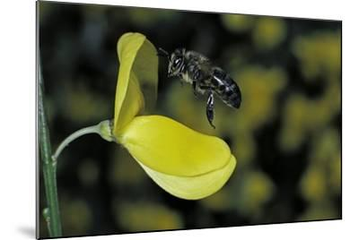 Apis Mellifera (Honey Bee) - Foraging and Approaching a Broom Flower-Paul Starosta-Mounted Photographic Print