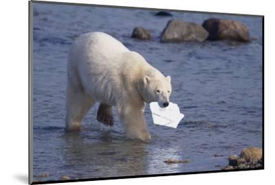 Polar Bear Carrying Styrofoam in Mouth-DLILLC-Mounted Photographic Print