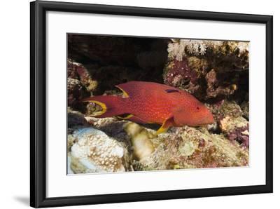 Lyretail Grouper (Variola Louti)-Reinhard Dirscherl-Framed Photographic Print
