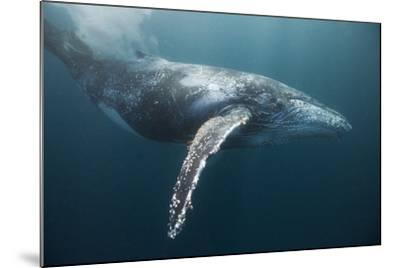 Humpback Whale (Megaptera Novaeangliae)-Reinhard Dirscherl-Mounted Photographic Print