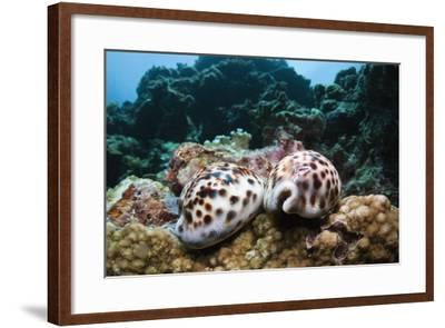 Two Living Tiger Cowries-Reinhard Dirscherl-Framed Photographic Print