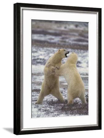 Polar Bears Fighting-DLILLC-Framed Photographic Print