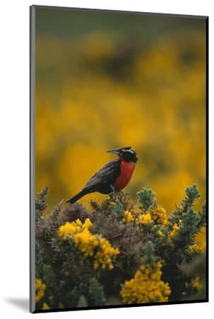 Long-Tailed Meadowlark on Bush-DLILLC-Mounted Photographic Print