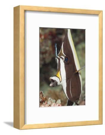 Moorish Idol (Zanclus Cornutus)-Reinhard Dirscherl-Framed Photographic Print