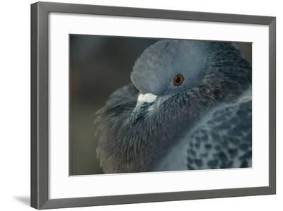 Common Pigeon-DLILLC-Framed Photographic Print