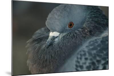 Common Pigeon-DLILLC-Mounted Photographic Print