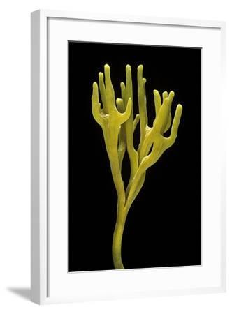 Clavulinopsis Corniculata (Meadow Coral)-Paul Starosta-Framed Photographic Print