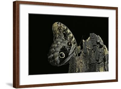Caligo Memnon (Pale Owl Butterfly, Giant Owl Butterfly)-Paul Starosta-Framed Photographic Print
