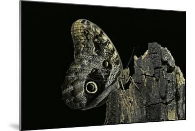 Caligo Memnon (Pale Owl Butterfly, Giant Owl Butterfly)-Paul Starosta-Mounted Photographic Print