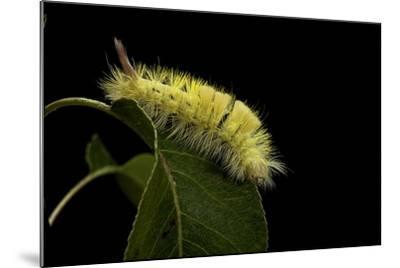 Calliteara Pudibunda (Pale Tussock Moth, Red Tail Moth) - Caterpillar-Paul Starosta-Mounted Photographic Print