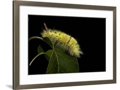 Calliteara Pudibunda (Pale Tussock Moth, Red Tail Moth) - Caterpillar-Paul Starosta-Framed Photographic Print