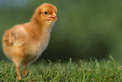 New Chick-DLILLC-Framed Photographic Print