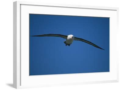Black-Browed Albatross Flying-DLILLC-Framed Photographic Print