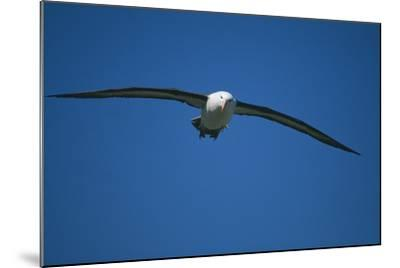 Black-Browed Albatross Flying-DLILLC-Mounted Photographic Print