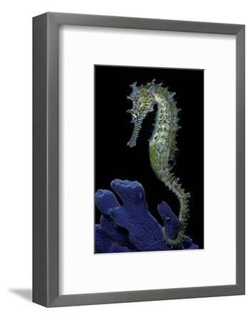 Hippocampus Kuda (Common Seahorse, Estuary Seahorse, Yellow Seahorse, Spotted Seahorse)-Paul Starosta-Framed Photographic Print