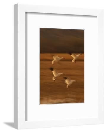 Snow Geese Landing-DLILLC-Framed Photographic Print
