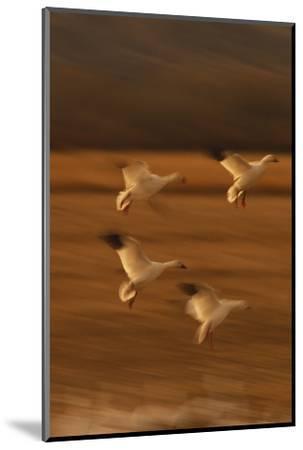 Snow Geese Landing-DLILLC-Mounted Photographic Print