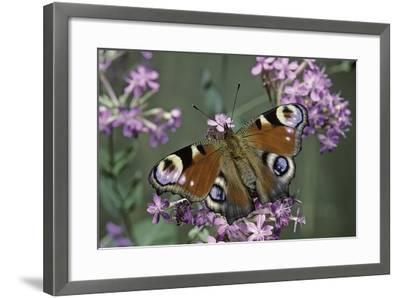 Inachis Io (Peacock Butterfly, European Peacock)-Paul Starosta-Framed Photographic Print