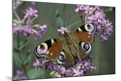 Inachis Io (Peacock Butterfly, European Peacock)-Paul Starosta-Mounted Photographic Print
