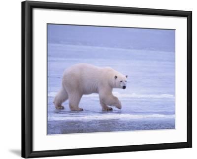 Polar Bear Walking on Ice-DLILLC-Framed Photographic Print