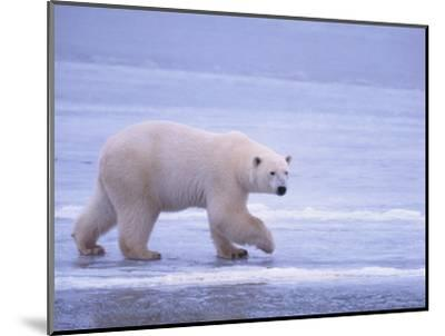 Polar Bear Walking on Ice-DLILLC-Mounted Photographic Print