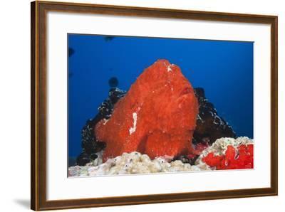 Red Giant Frogfish (Antennarius Commersonii)-Reinhard Dirscherl-Framed Photographic Print