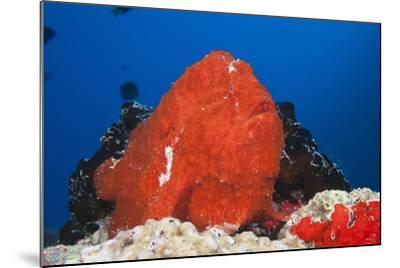 Red Giant Frogfish (Antennarius Commersonii)-Reinhard Dirscherl-Mounted Photographic Print