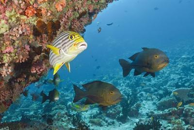 Snapper and Sweetlips in Coral Reef, Maldives-Reinhard Dirscherl-Framed Photographic Print