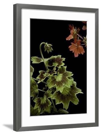Pelargonium X Hortorum 'Golden Ears' (Common Geranium, Garden Geranium, Zonal Geranium)-Paul Starosta-Framed Photographic Print