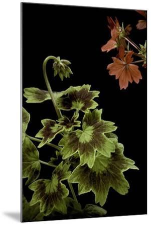 Pelargonium X Hortorum 'Golden Ears' (Common Geranium, Garden Geranium, Zonal Geranium)-Paul Starosta-Mounted Photographic Print