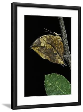 Kallima Paralekta (Indian Leafwing, Malayan Leafwing Butterfly)-Paul Starosta-Framed Photographic Print