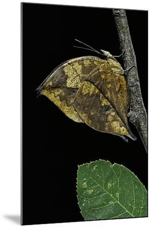 Kallima Paralekta (Indian Leafwing, Malayan Leafwing Butterfly)-Paul Starosta-Mounted Photographic Print