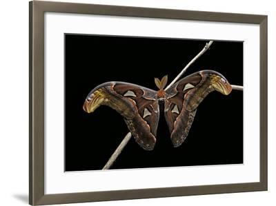 Attacus Atlas (Atlas Moth) - Male-Paul Starosta-Framed Photographic Print