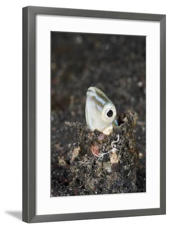 Snake or Hairtail Blenny Head (Xiphasia Setifer), Lembeh Strait, North Sulawesi, Indonesia-Reinhard Dirscherl-Framed Photographic Print